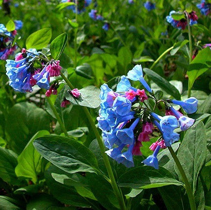 Mertensia virginica - Virginia Bluebells