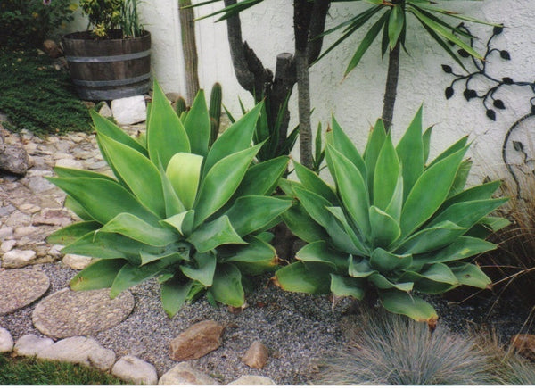 Agave attentuata - Fox Tail Agave