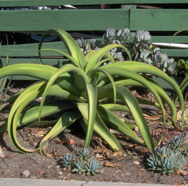 Agave Collection - Mixed Exotic Species