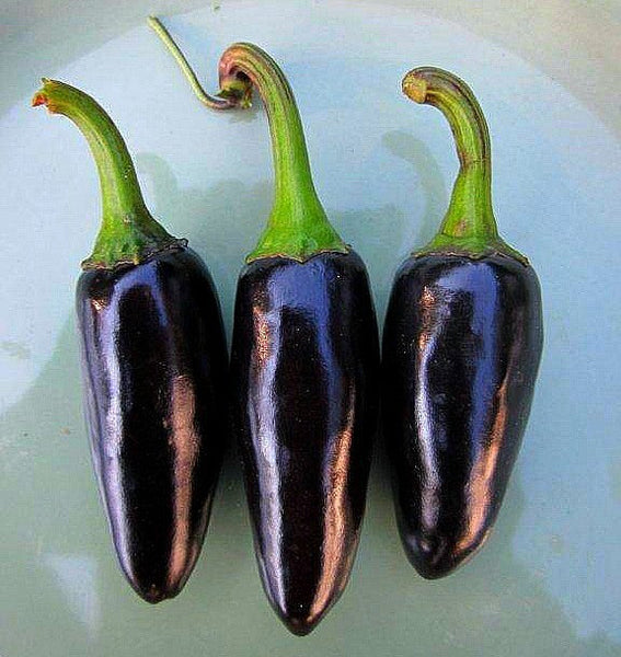 Black Hungarian - Heirloom Pepper