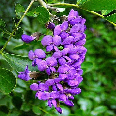 Sophora secundiflora  Texas Mountain Laurel