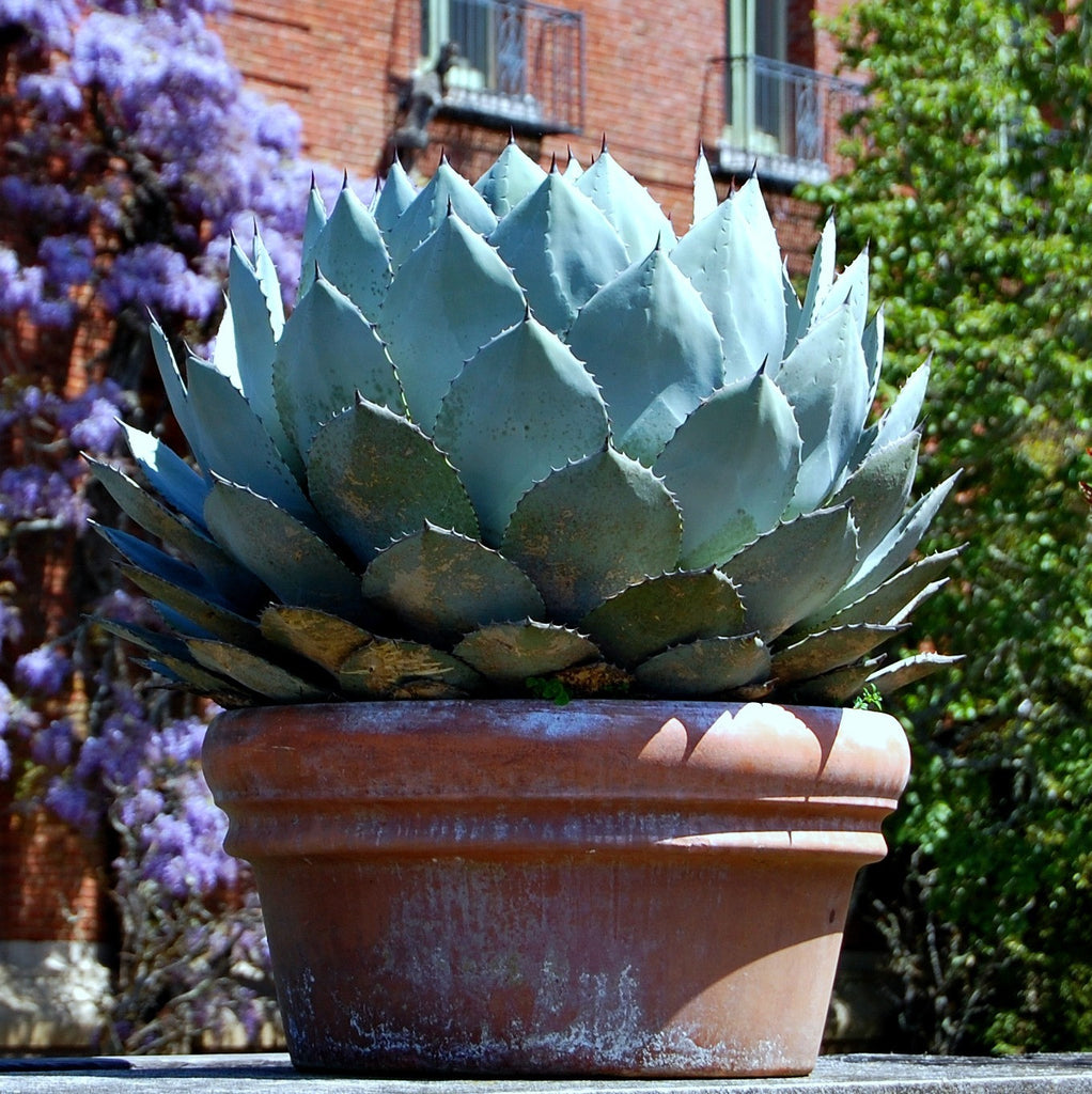 Agave parryi - Artichoke Agave