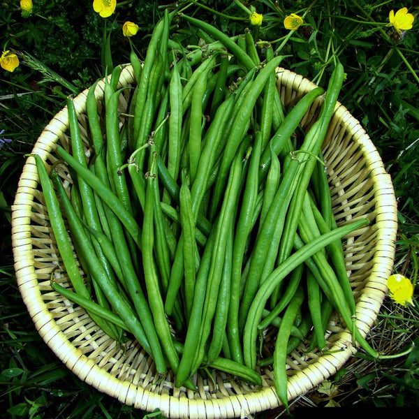 Fin de Bagnol - French Green Bean