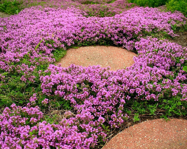 Creeping Thyme  - Fragrant Groundcover