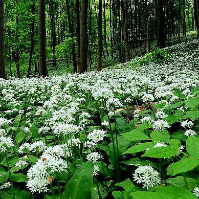 Allium ursinum - Wild Bear Garlic