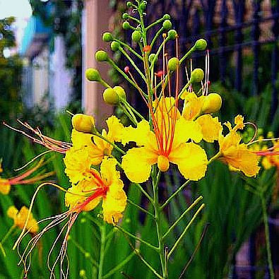 Caesalpinia mexicana - Mexican Bird of Paradise