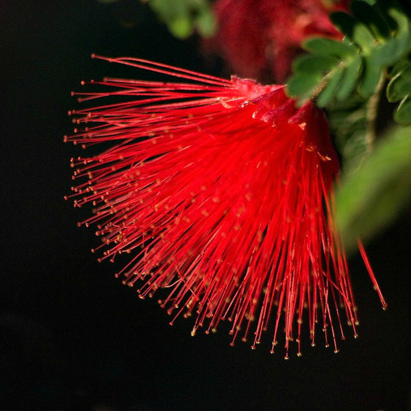 Calliandra tergemina - Red Powderpuff Tree