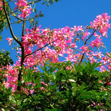 Chorisia speciosa - Silk Floss Tree