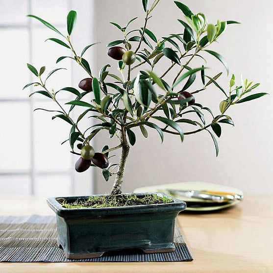 Olea europeana - Olive Tree