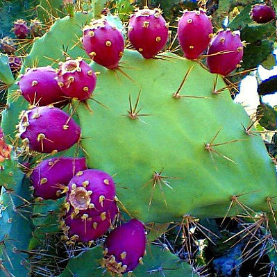 Prickly Pear Collection - Opuntia Mix