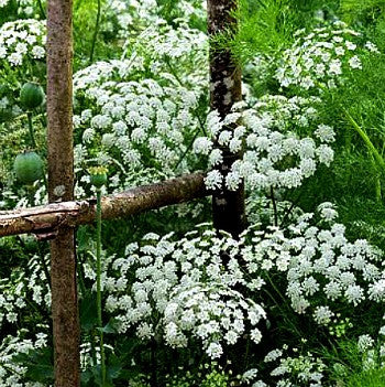 Ammi majus - Queen Anne's Lace