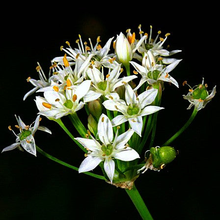 Garlic Chives - Ornamental Allium