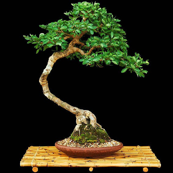 Bonsai Seed Collection - Garden Gift