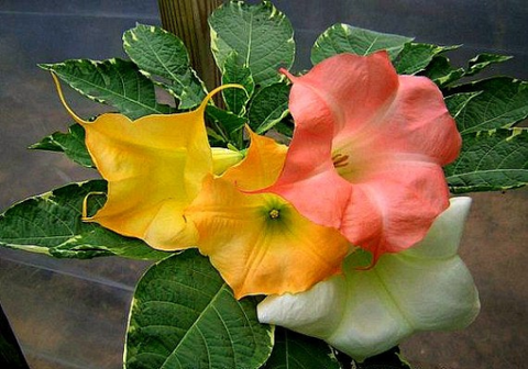 Brugmansia Collection, Angels Trumpets, four dramatic species, 40 seeds, gardener's gift, warm zones 9 to 11, houseplant