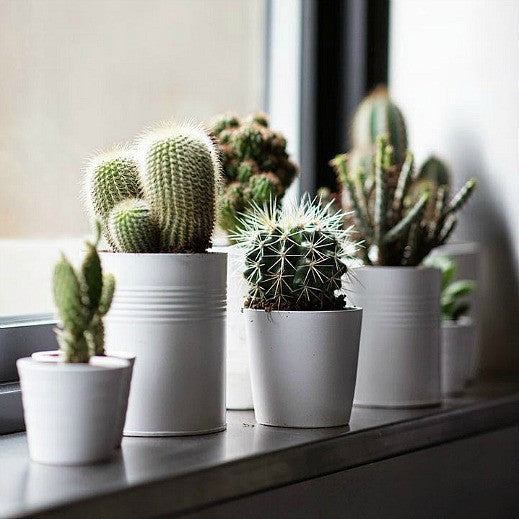 Cactus Gift Collection - Windowsill Garden Seeds