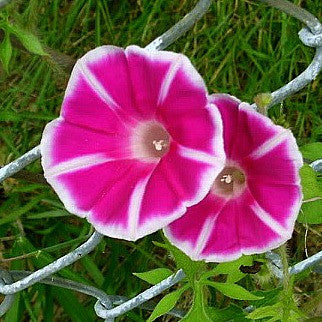 Cameo Elegance - Japanese Morning Glory