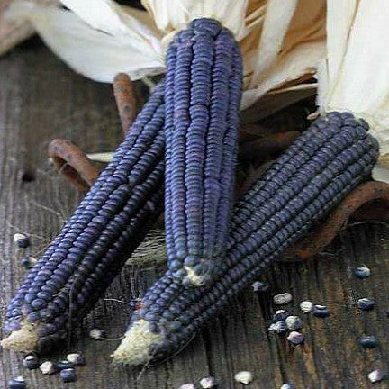 Blue Jade Corn - Dwarf Heirloom