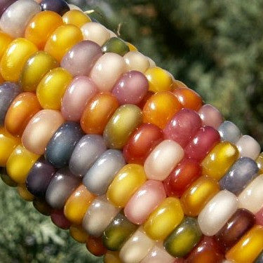 Glass Gem Corn - rare heirloom