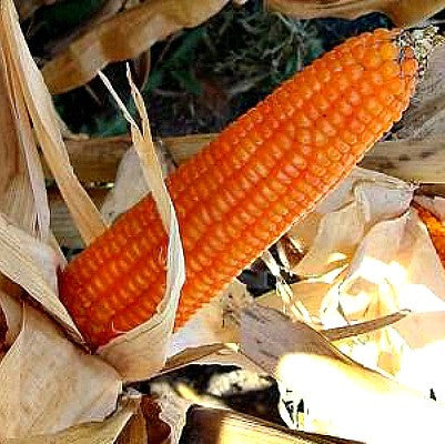 Strubbe's Orange Corn - non GMO heirloom