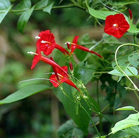 Cypress Vine, tiny red morning glory, 20 seeds, Ipomoea quamoclit