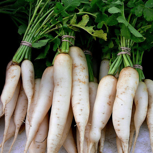 Daikon Radish - Japanese Heirloom