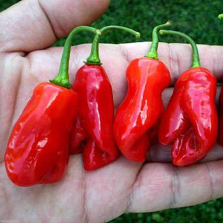 Sweet Datil Pepper - Rare Southern Heirloom