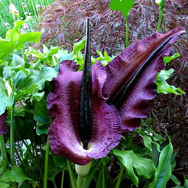 dracunculus vulgaris voodoo lily smartseeds. Black Bedroom Furniture Sets. Home Design Ideas