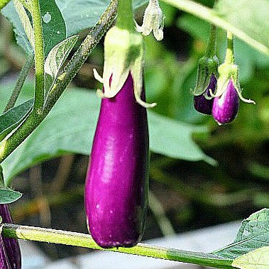 Tiny Asian Eggplant - Little Fingers