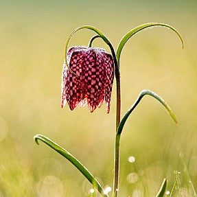 Fritillaria meleagris - Checkered Lily