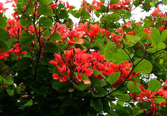 Bauhinia galpinii, 5 rare seeds, showy South African vine, coral red blossoms, arching form, drought tolerant, zones 8 to 11. Gorgeous.