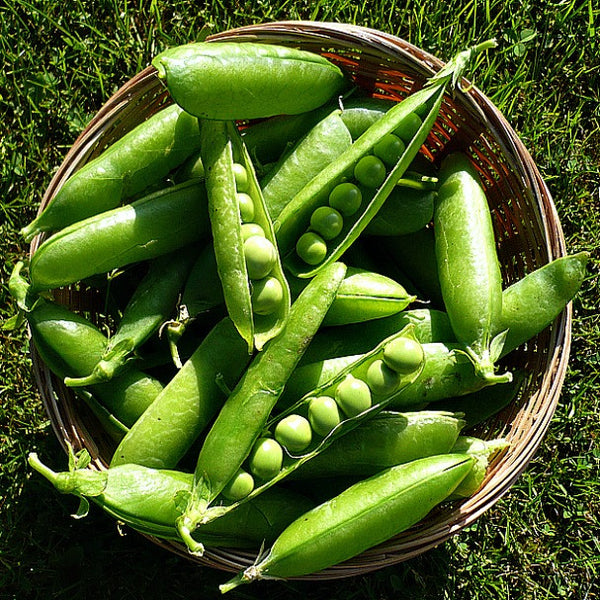 Sugar Snap Snow Peas - Autumn Garden