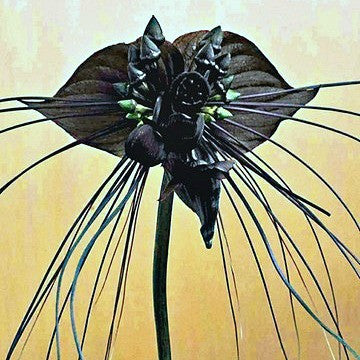 Tacca chantrieri - Black Bat Flower