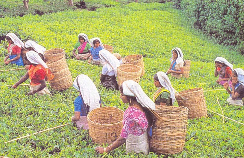 Labor and Tea Cultivation: Who is Picking Your Tea?