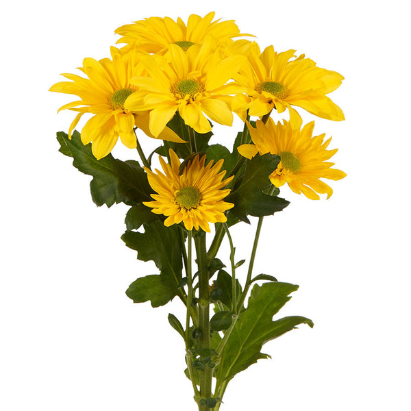 Buy chrysanthemums online bills fresh flowers chrysanthemums order pretty fresh flowers in pink white yellow and red from bills mightylinksfo