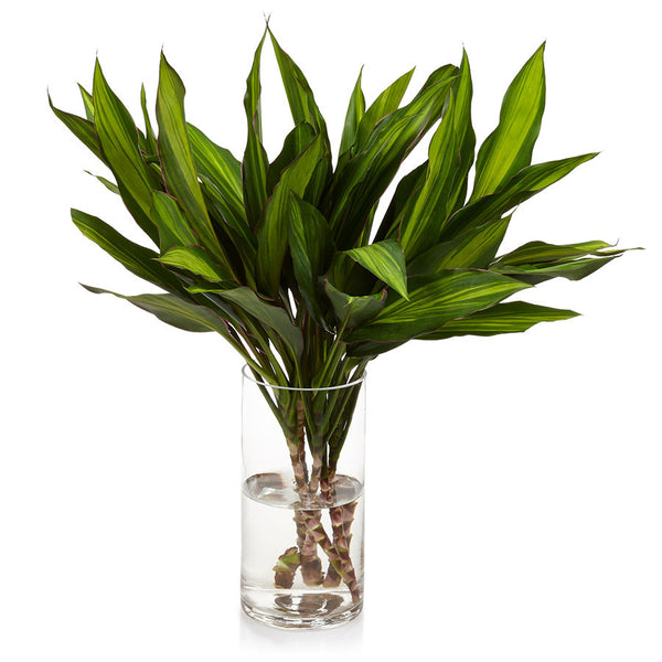 Cordyline Tops, a lush tropical foliage to add volume to a home flower arrangement. Order yours today at Bill's.