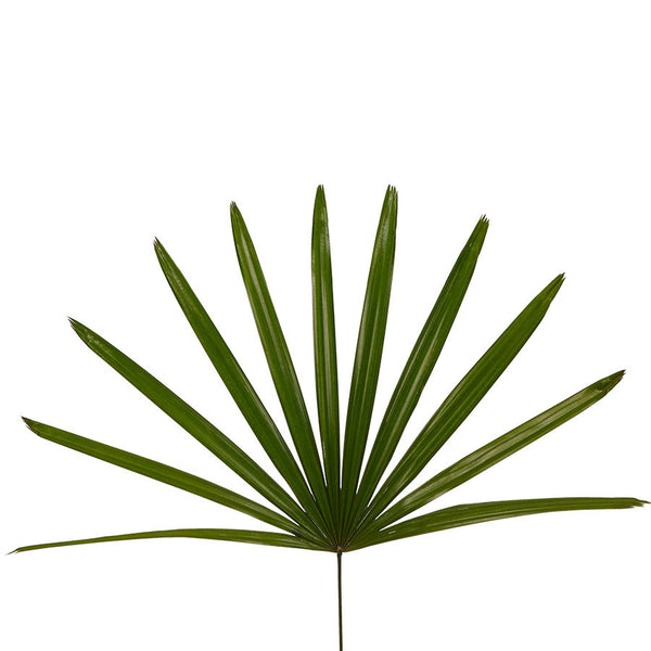 Fan palms, make stunning home arrangements with cut flowers from Bill's.