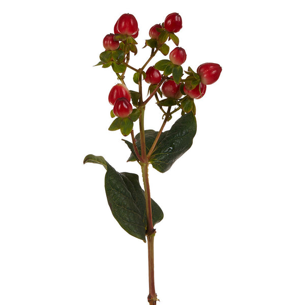Hypericum, seasonal red berries for flower bouquets for purchase at Bill's.
