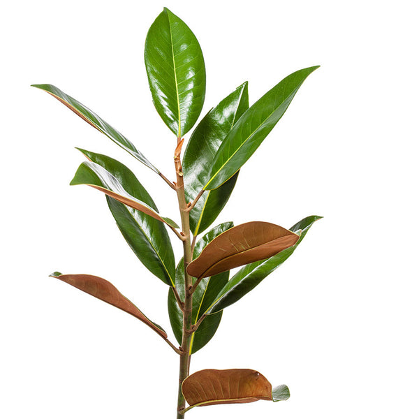 Magnolia Leaves, buy this Bill's foliage in 5, 10 or 15 stems.