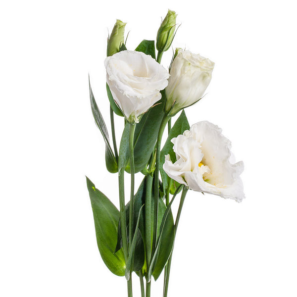 Lisianthus, great for flower bouquets or mixed arrangements, buy yours at Bill's today!
