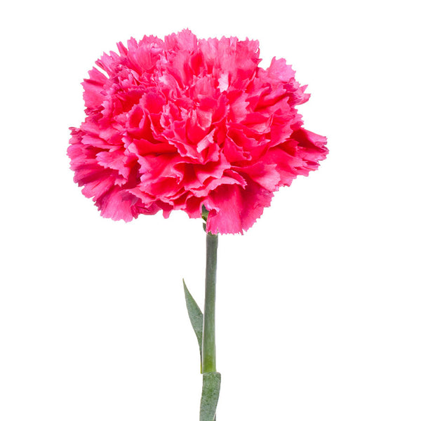 Carnations, one of Bill's most popular fresh cut flowers for home arrangements.