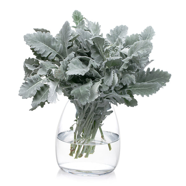 Dusty Miller, foliage that looks fantastic both on its own and mixed with other cut flowers from Bill's.