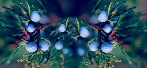 What is Juniper Berry?