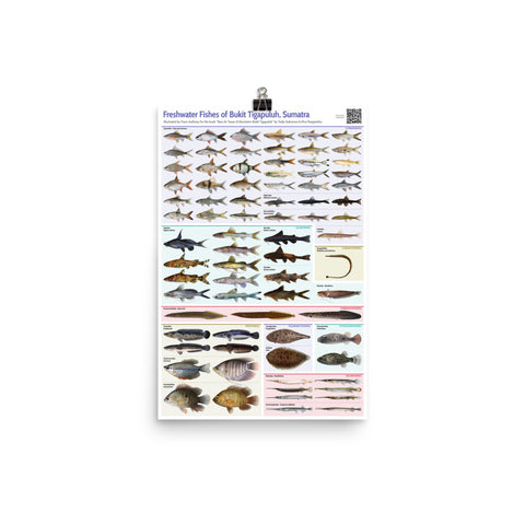 Freshwater Fishes of Bukit Tigapuluh poster