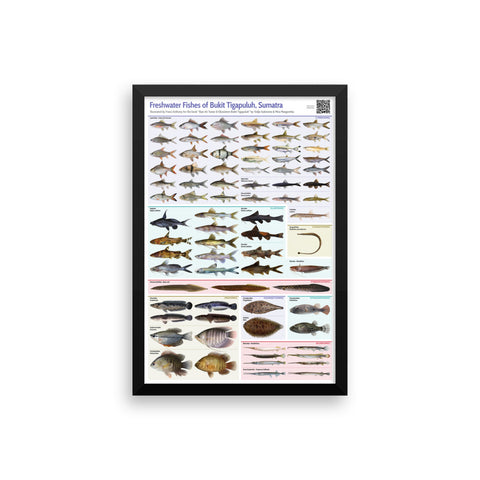 Freshwater Fishes of Bukit Tigapuluh framed print