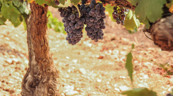 6 Spanish grape varieties you should know about