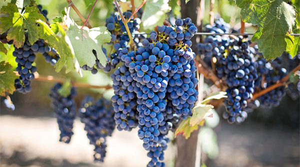 Can you really make white wine from red grapes?