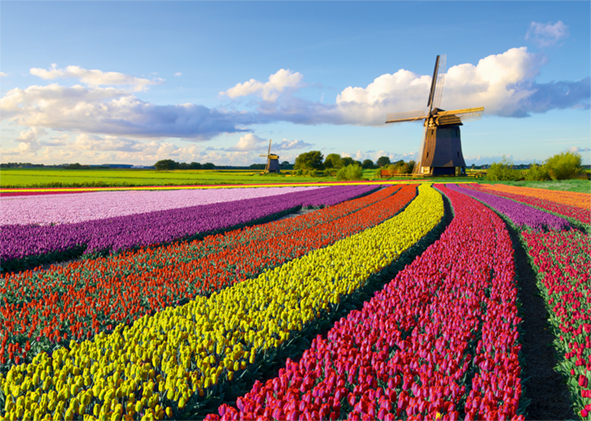Field of Tulips 1000 Piece Jigsaw Puzzle