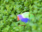 Seconds Sale - Takahē Pin - Oh Plesiosaur