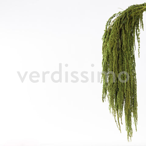 Amaranthus - Almond Green