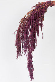 Amaranthus - Purple